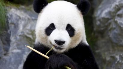 دانلود آهنگ cygo از پاندا ای Panda E